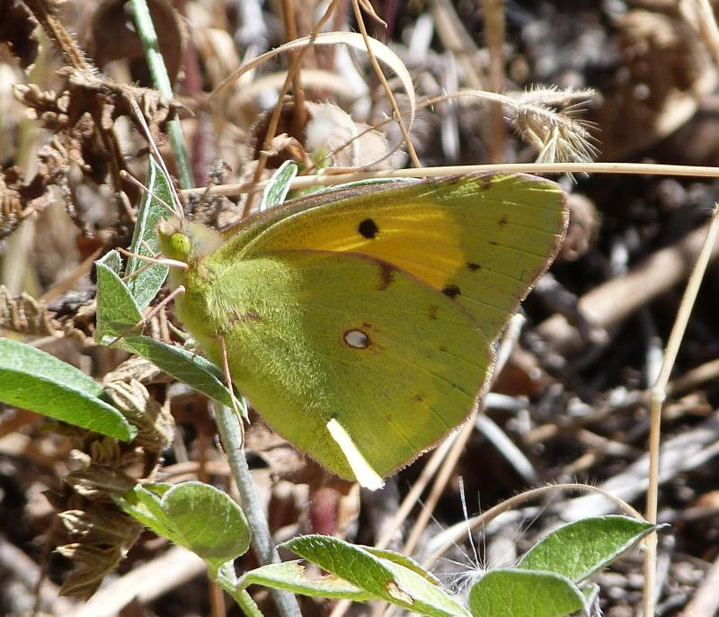 GR 249. Stage 34 Benalmádena - Alhaurín de la Torre. Dark Clouded Yellow / Common Clouded Yellow Butterfly (Colias croccea)