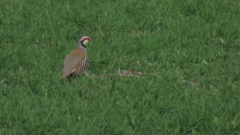 Imagen de 5. Red-legged Partridge (Alectoris rufa)