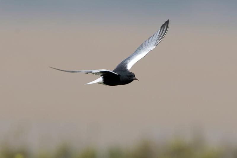 Imagen de Fumarel Aliblanco (White winged Black Tern)