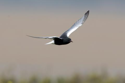 Fumarel Aliblanco (White winged Black Tern)