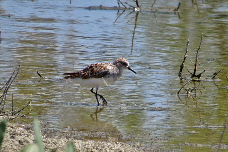 Imagen de Photo3. Little Stint