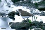 Image. Common Sandpiper