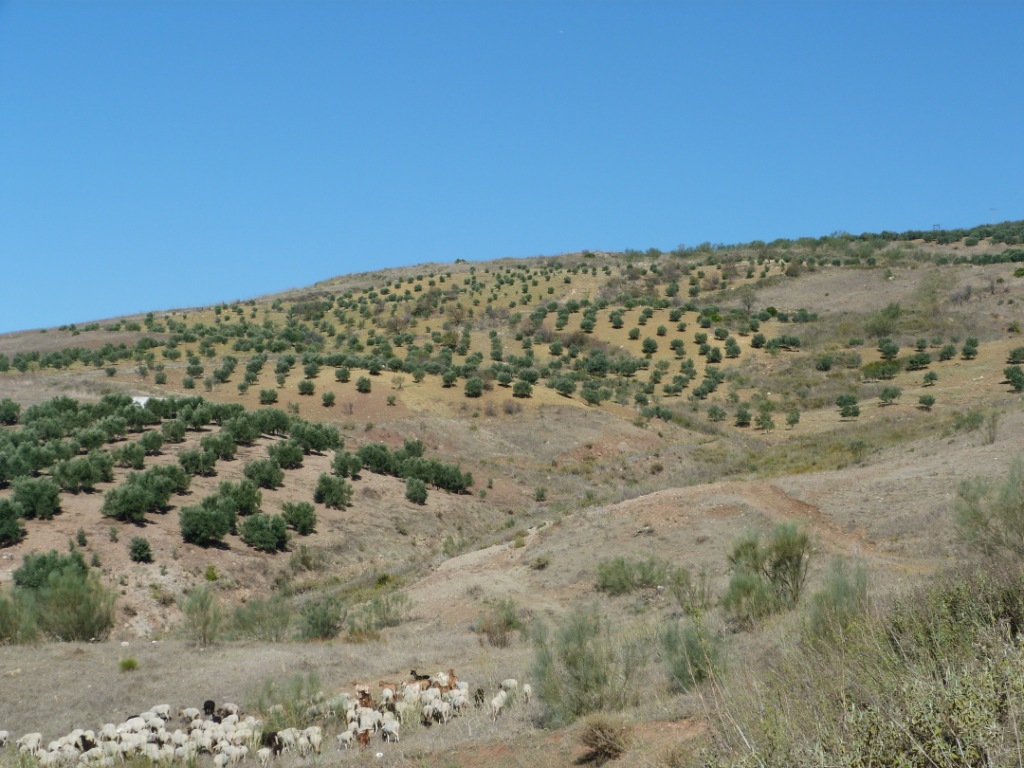 Imagen de GR 249. Stage 08. Canillas de Aceituno - Periana. Olive grove and sheep