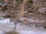 Image. Eurasian curlew