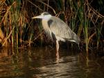 Garza real (Ardea cinerea)-3-adulto