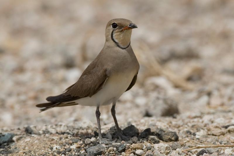 Imagen de Photo2. Collared-Pratincole