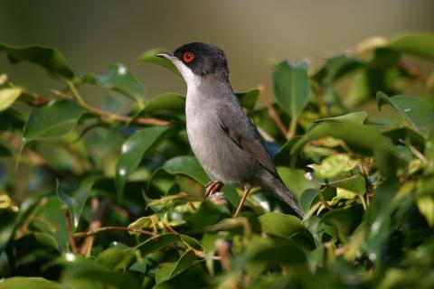 Photo4. Sardinian-Warbler