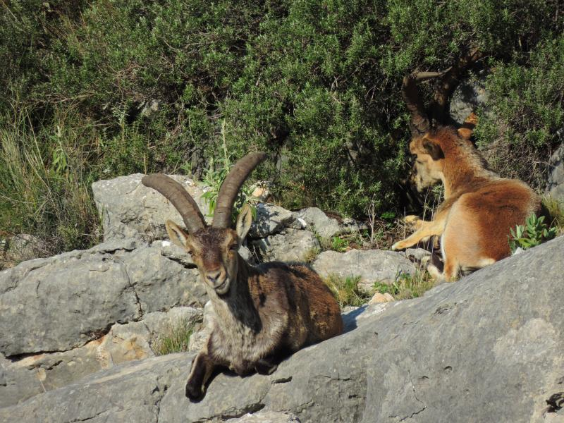 Imagen de Spanish Ibex (Capra pyrenaica) on the way to Las Buitreras viewpoint