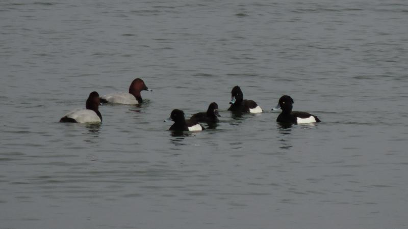 Imagen de 2. Pochards (left, Aythya ferina) and Tufted Ducks (right, Aythya fuligula)
