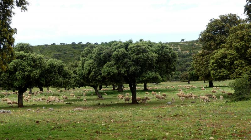 GR 249.5. Section Stage 3. Extensive cattle grazing in one of the pastures of the route