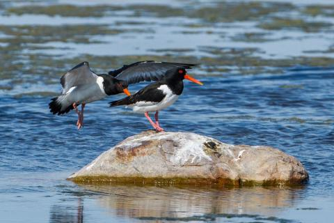 Photo3. Eurasian Oystercatcher