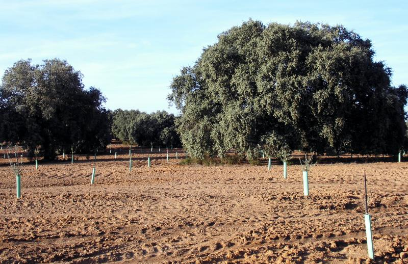 Imagen de GR 249. Stage 13. Archidona - Villanueva de Tapia. The interaction between woodland and crops shown perfectly in this Dehesa with interspersed olive trees
