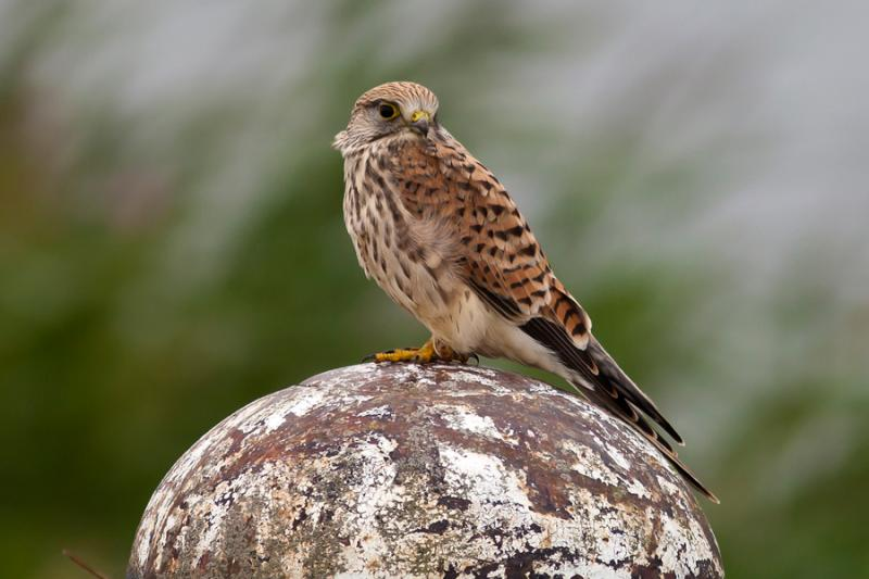 Imagen de Photo4.-Common-Kestrel