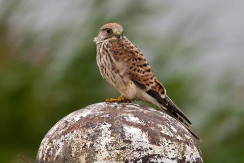 Image. Photo4.-Common-Kestrel