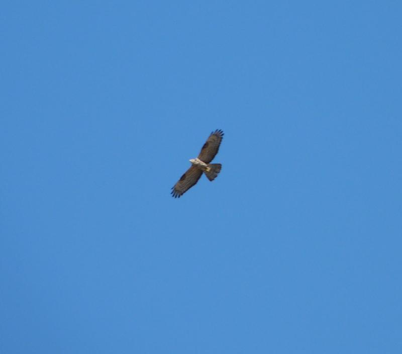 Imagen de European Honey Buzzard