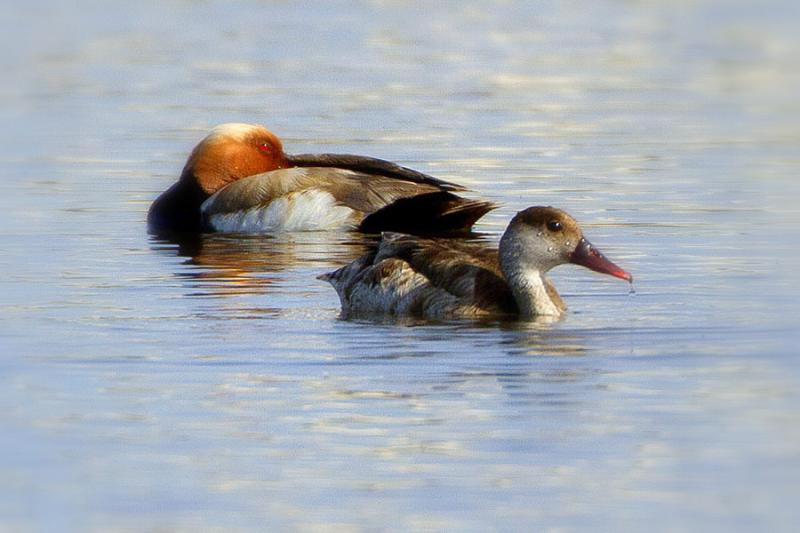 Imagen de Photo1. Red-crested-Pochard