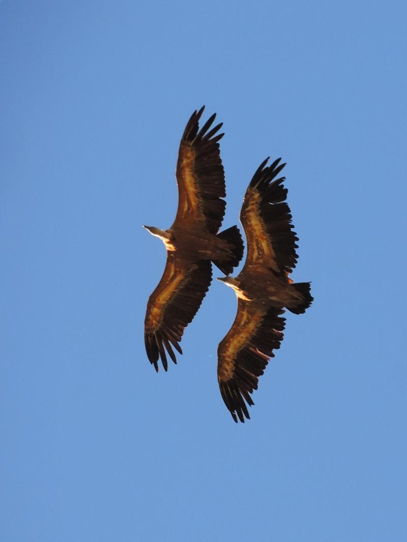 Imagen de Griffon  Vultures (Gyps fulvus) in synchronized flight