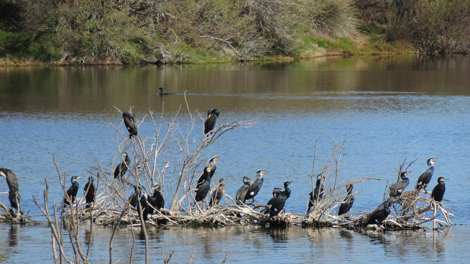 13. Cormoranes grandes (Phalacrocorax carbo)
