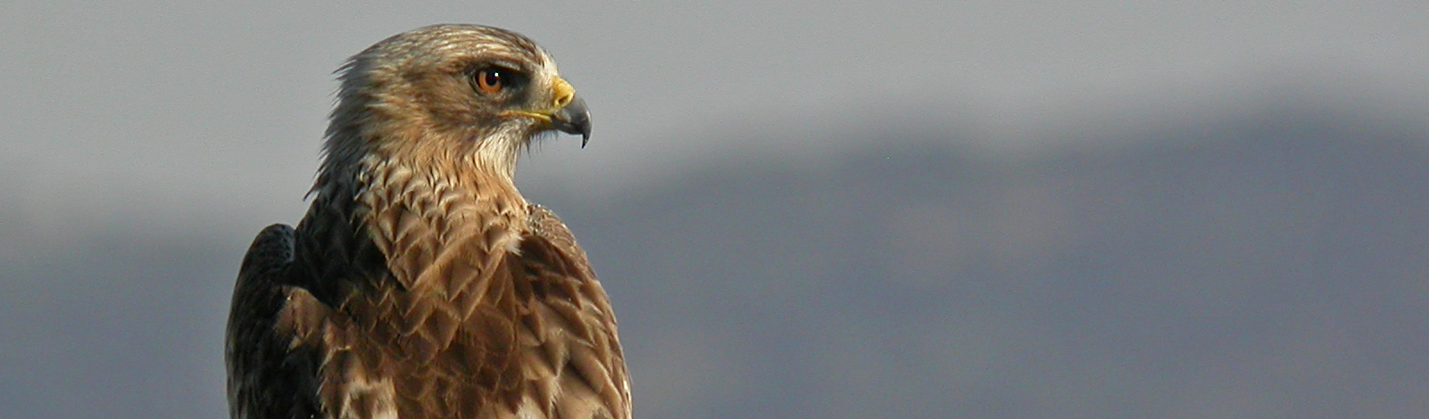 Booted eagle (Aquila pennata). BIRD OF THE MONTH. NOVEMBER
