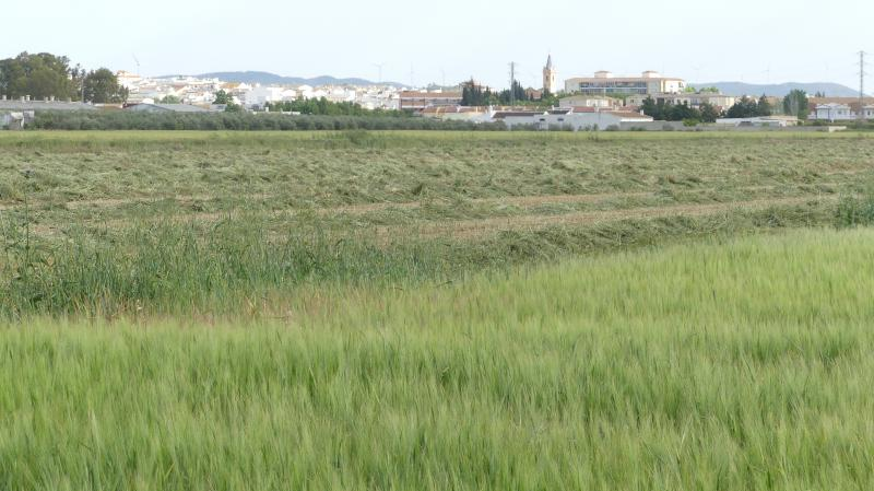 Imagen de GR 249.5. Section Stage 1. Campillos - Teba. Cereal fields in mowing, with Campillos in the background, since the beginning of the Path