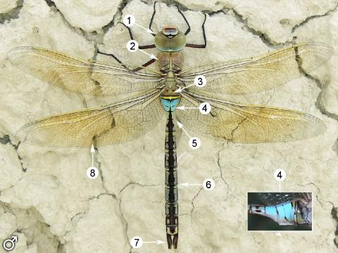 Image. Anax parthenope