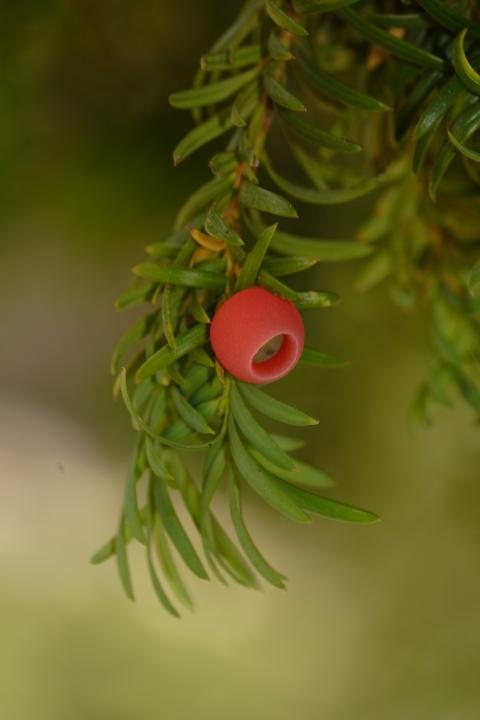 Image. Taxus baccata