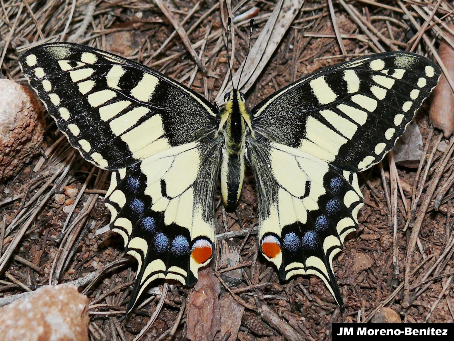 bol.com | Yellow Papilio Machaon Swallowtail Butterfly Journal ... | 600x800