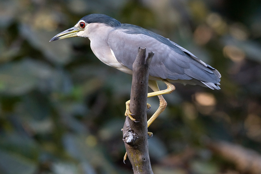 Imagen de Photo2. Black-crowned Night Heron