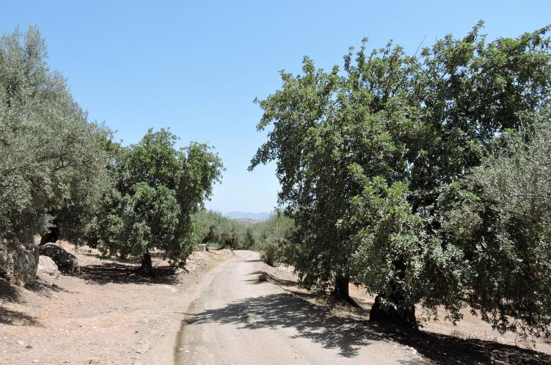 Imagen de GR 249. Stage 08. Canillas de Aceituno - Periana. Carob trees among centenary olive trees on the track that ascends from the swamp