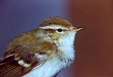 Image. Yellow-browed warbler
