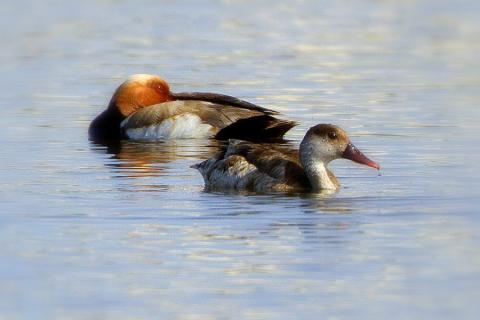 Photo1. Red-crested-Pochard