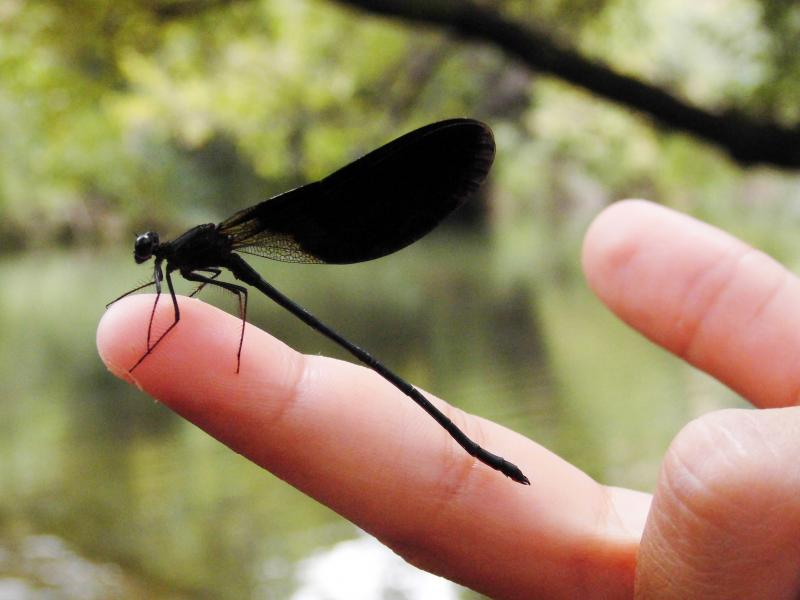 Imagen de GR 249. Stage 23. El Burgo - Ronda. A damselfly rescued from the water at one of the dams over Turón river